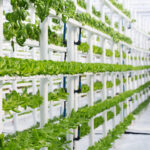 A vertical indoor hydroponic vegetable farm, growing many rows of butter lettuce, basil, mint and other herbs. This is a modern and space- as well as water-efficient way of producing food in a soilless manner.